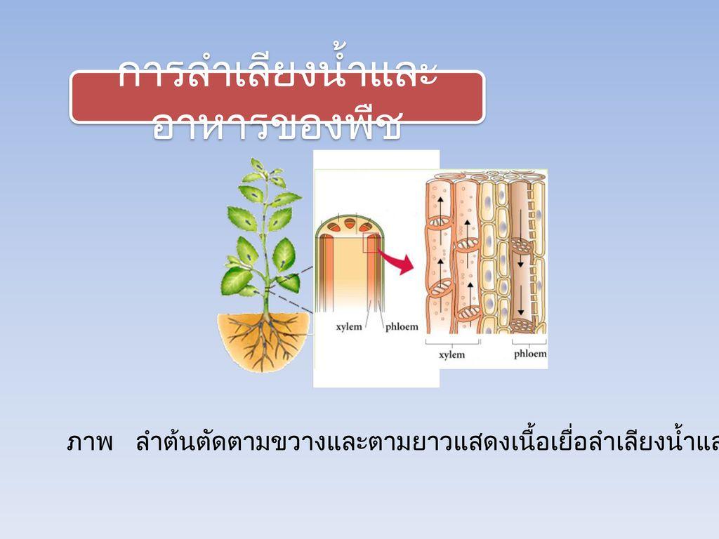 การลำเลียงน้ำและอาหารของพืช