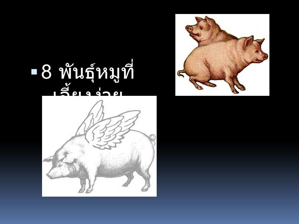 8 พันธุ์หมูที่เลี้ยงง่าย