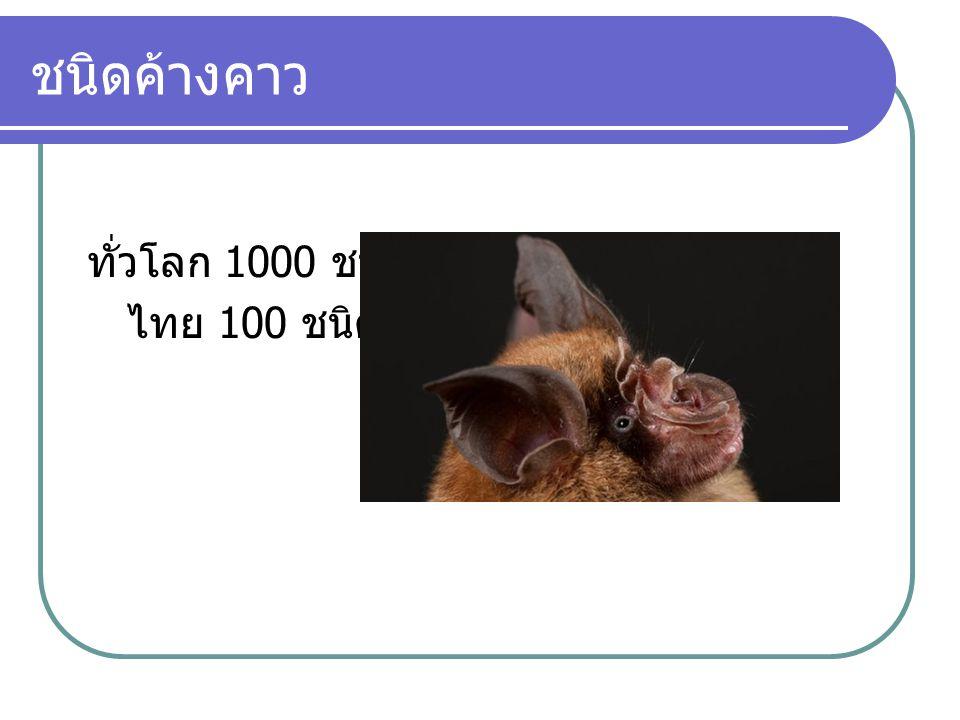 ชนิดค้างคาว ทั่วโลก 1000 ชนิด ไทย 100 ชนิด
