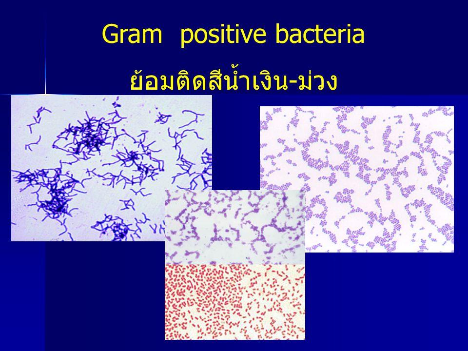 Gram positive bacteria ย้อมติดสีน้ำเงิน-ม่วง