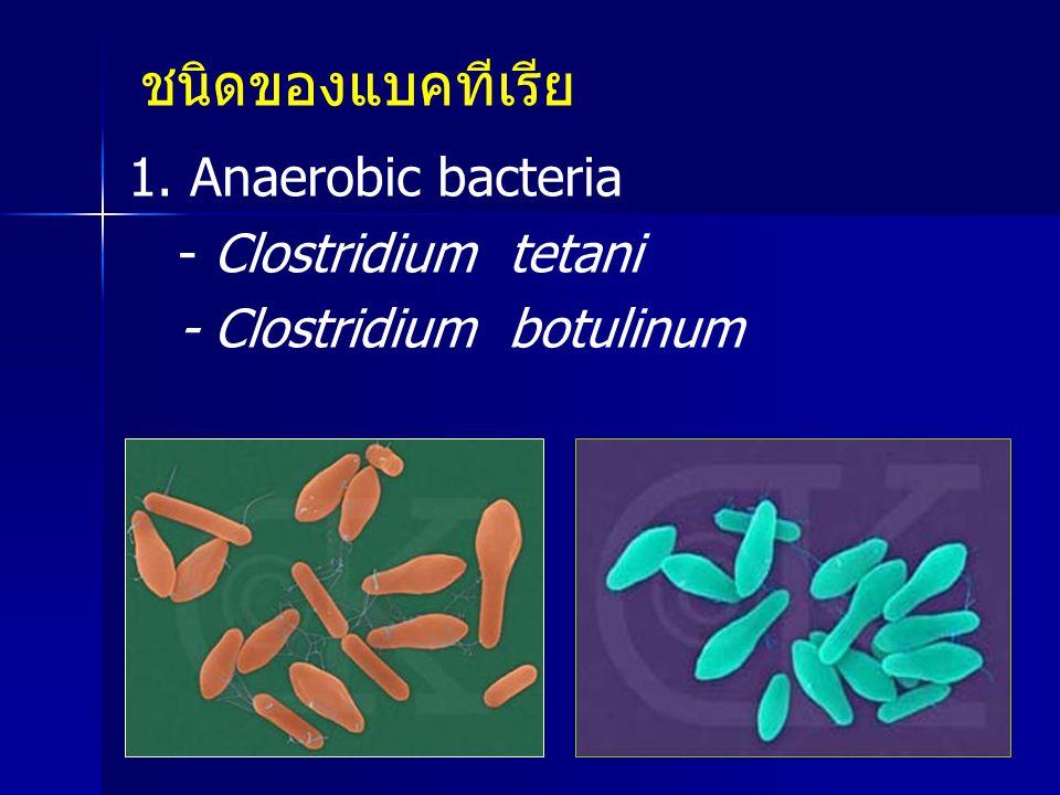 ชนิดของแบคทีเรีย 1. Anaerobic bacteria - Clostridium tetani