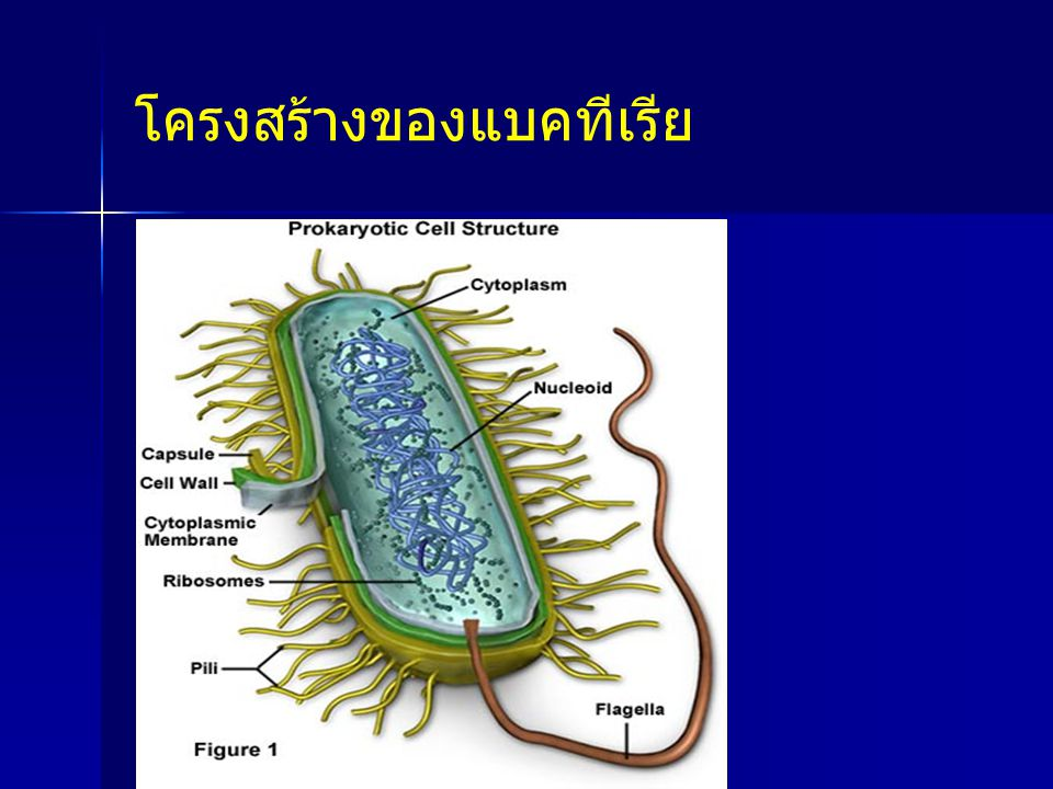 โครงสร้างของแบคทีเรีย