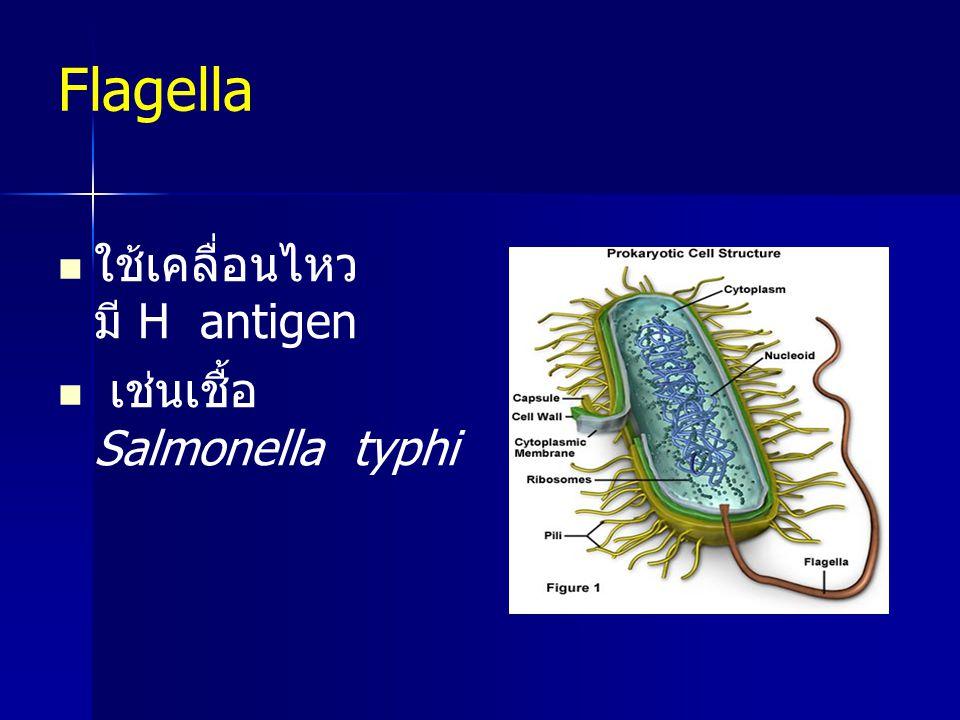 Flagella ใช้เคลื่อนไหว มี H antigen เช่นเชื้อ Salmonella typhi