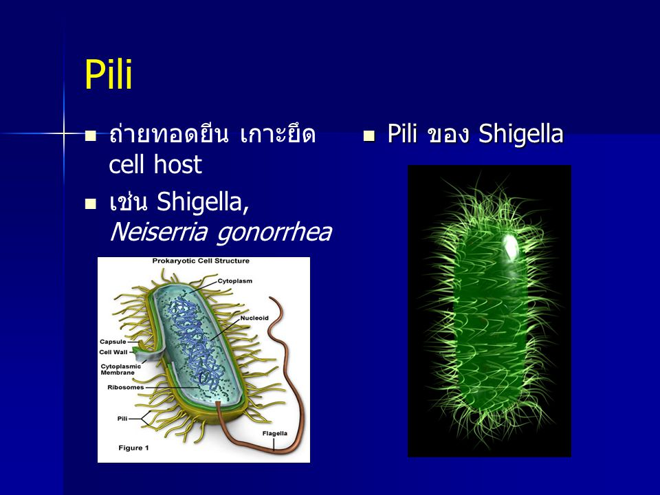 Pili ถ่ายทอดยีน เกาะยึด cell host เช่น Shigella, Neiserria gonorrhea