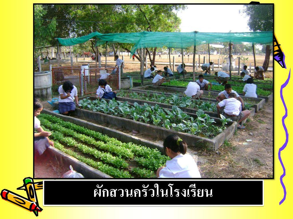 ผักสวนครัวในโรงเรียน