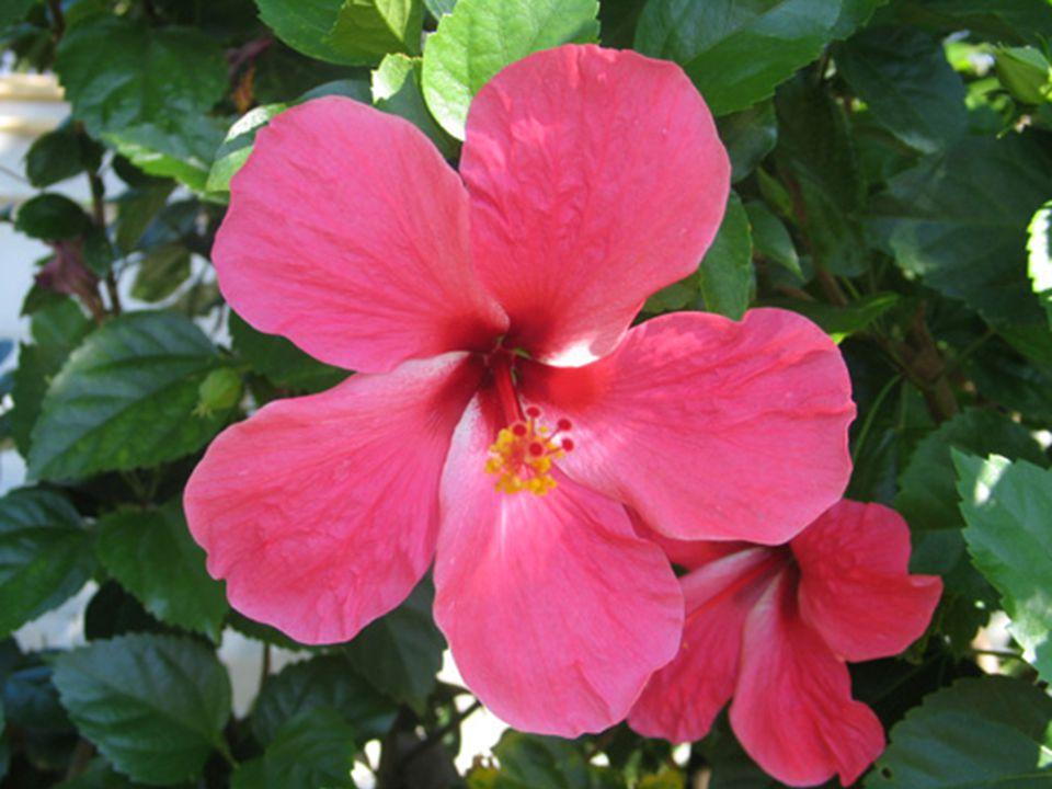 ชบา ชื่อวิทยาศาสตร์ : Hibiscus spp. and hybrid ชื่อวงศ์ : Malvaceae
