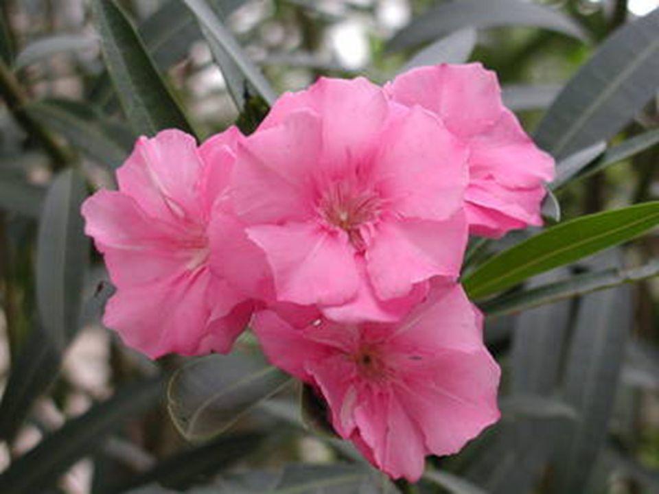 ยี่โถ ชื่อวิทยาศาสตร์ : Nerium oleander L. ชื่อวงศ์ : Apocynaceae