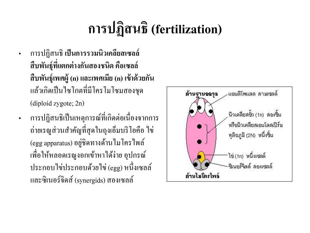 การปฏิสนธิ (fertilization)