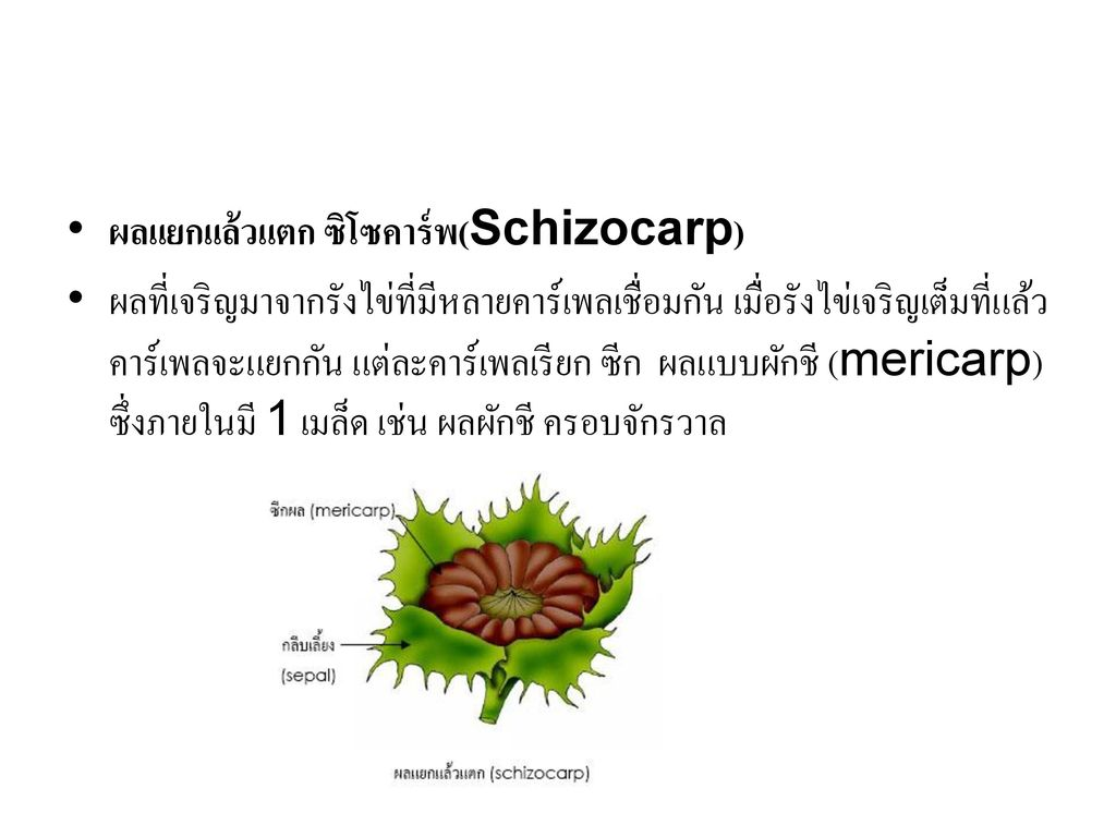ผลแยกแล้วแตก ซิโซคาร์พ(Schizocarp)