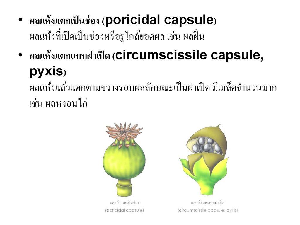 ผลแห้งแตกเป็นช่อง (poricidal capsule) ผลแห้งที่เปิดเป็นช่องหรือรูใกล้ยอดผล เช่น ผลฝิ่น