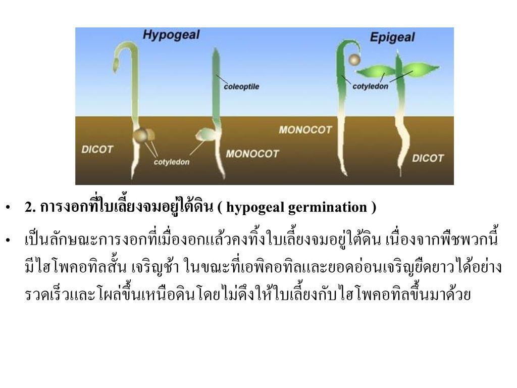 2. การงอกที่ใบเลี้ยงจมอยู่ใต้ดิน ( hypogeal germination )