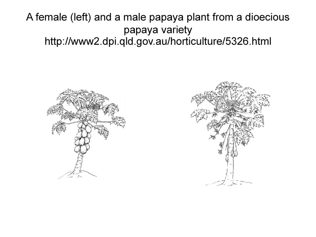 A female (left) and a male papaya plant from a dioecious papaya variety