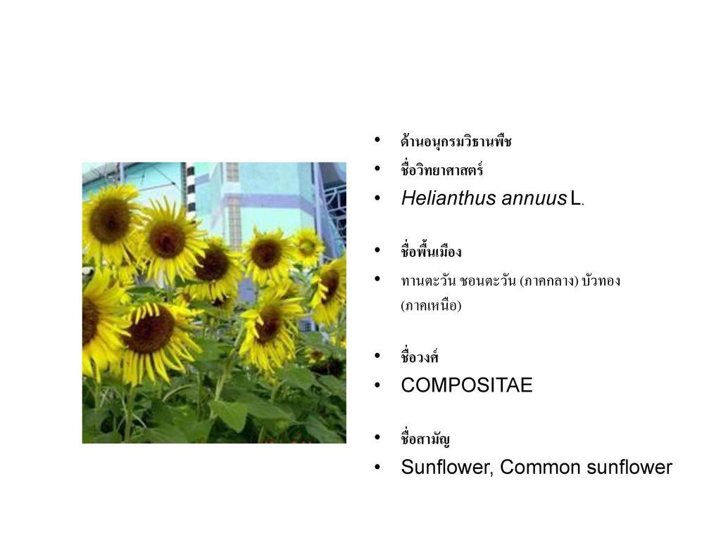 ด้านอนุกรมวิธานพืช ชื่อวิทยาศาสตร์ Helianthus annuus L. ชื่อพื้นเมือง. ทานตะวัน ชอนตะวัน (ภาคกลาง) บัวทอง (ภาคเหนือ)