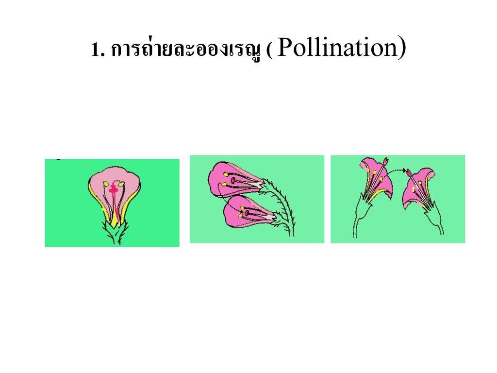 1. การถ่ายละอองเรณู ( Pollination)