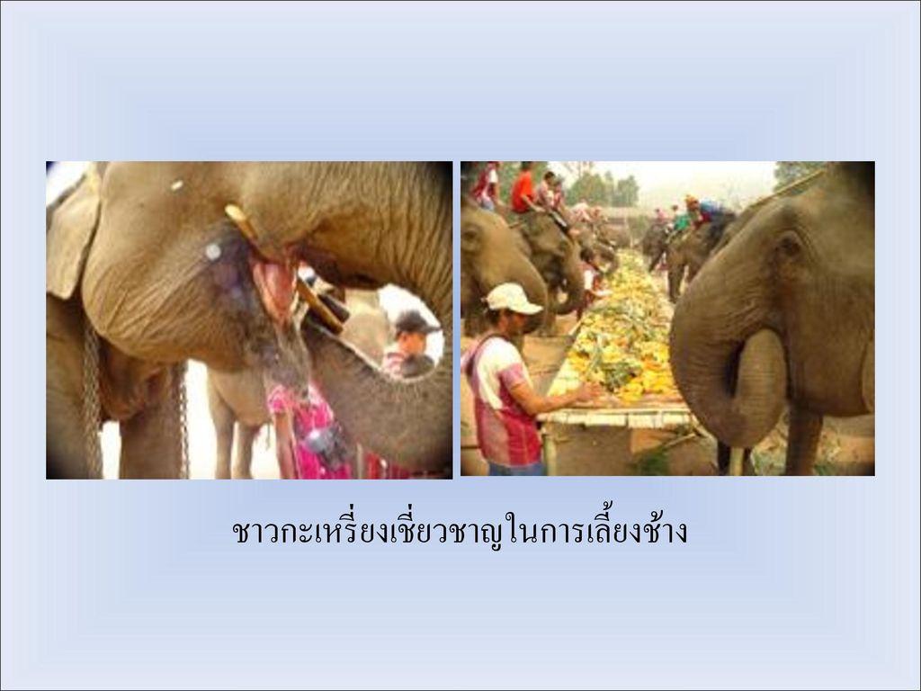 ชาวกะเหรี่ยงเชี่ยวชาญในการเลี้ยงช้าง