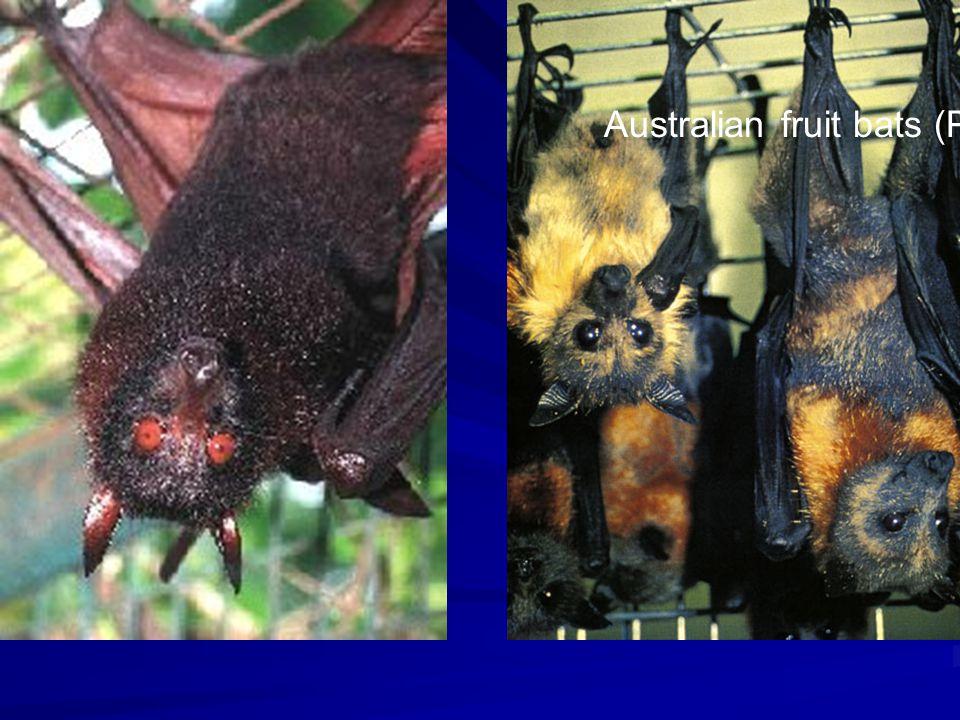 Australian fruit bats (Pteropus sp.)