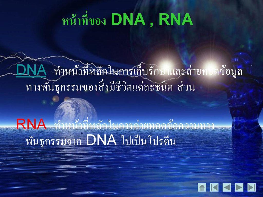 หน้าที่ของ DNA , RNA DNA ทำหน้าที่หลักในการเก็บรักษาและถ่ายทอดข้อมูลทางพันธุกรรมของสิ่งมีชีวิตแต่ละชนิด ส่วน.