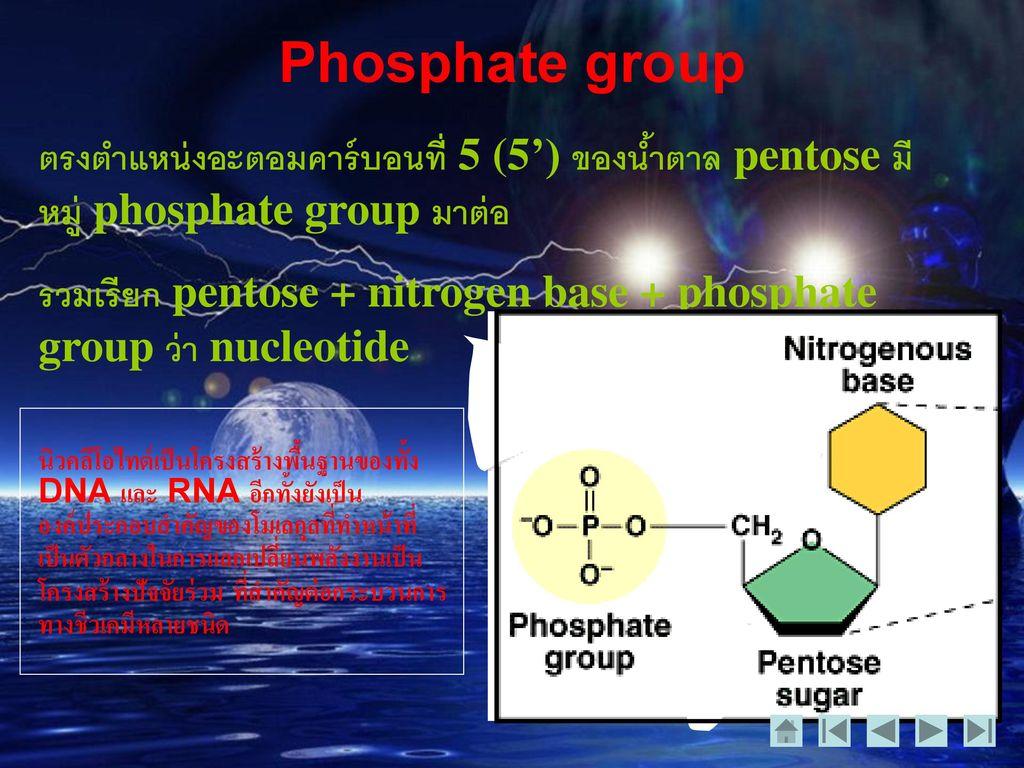 Phosphate group ตรงตำแหน่งอะตอมคาร์บอนที่ 5 (5') ของน้ำตาล pentose มีหมู่ phosphate group มาต่อ.