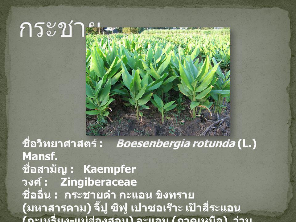กระชาย ชื่อวิทยาศาสตร์ : Boesenbergia rotunda (L.) Mansf.