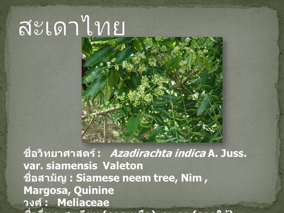 สะเดาไทย ชื่อวิทยาศาสตร์ : Azadirachta indica A. Juss. var. siamensis Valeton. ชื่อสามัญ : Siamese neem tree, Nim , Margosa, Quinine.