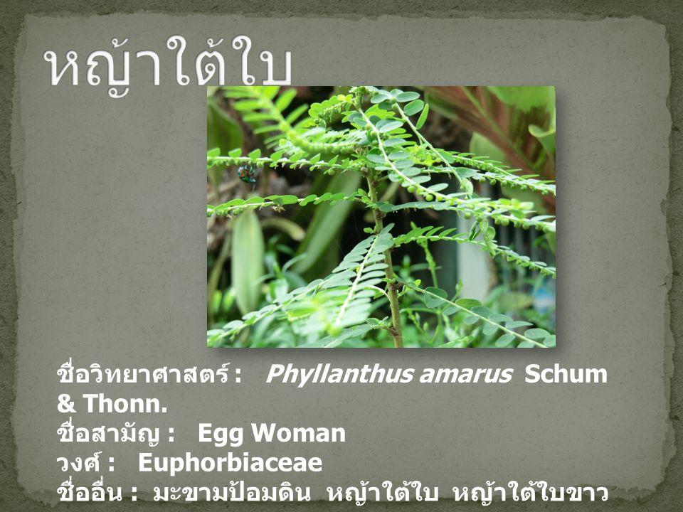 หญ้าใต้ใบ ชื่อวิทยาศาสตร์ : Phyllanthus amarus Schum & Thonn.