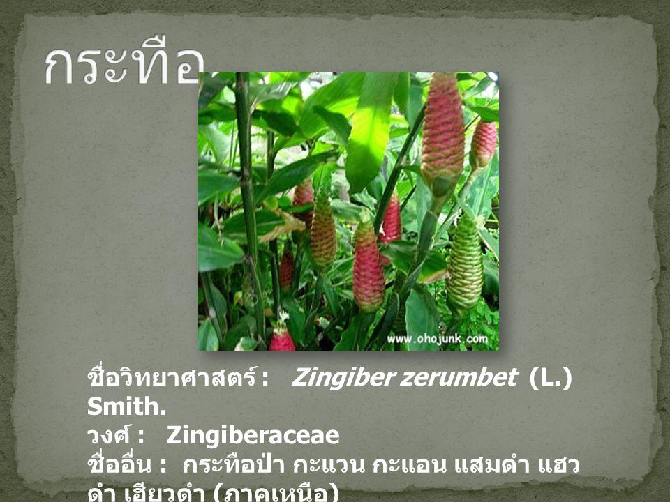 กระทือ ชื่อวิทยาศาสตร์ : Zingiber zerumbet (L.) Smith.