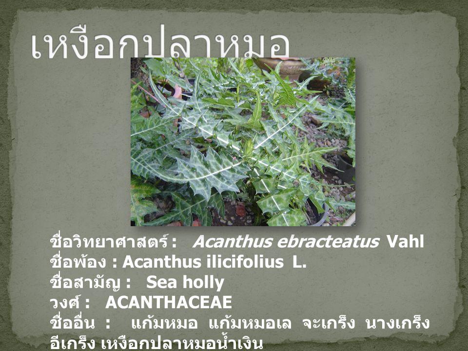 เหงือกปลาหมอ ชื่อวิทยาศาสตร์ : Acanthus ebracteatus Vahl
