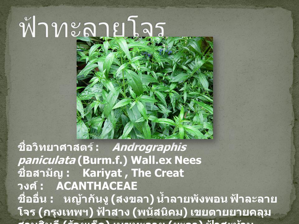 ฟ้าทะลายโจร ชื่อวิทยาศาสตร์ : Andrographis paniculata (Burm.f.) Wall.ex Nees. ชื่อสามัญ : Kariyat , The Creat.