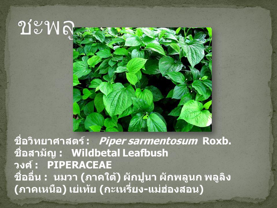 ชะพลู ชื่อวิทยาศาสตร์ : Piper sarmentosum Roxb.