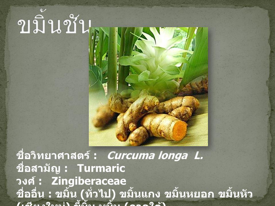 ขมิ้นชัน ชื่อวิทยาศาสตร์ : Curcuma longa L. ชื่อสามัญ : Turmaric