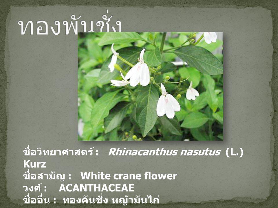 ทองพันชั่ง ชื่อวิทยาศาสตร์ : Rhinacanthus nasutus (L.) Kurz
