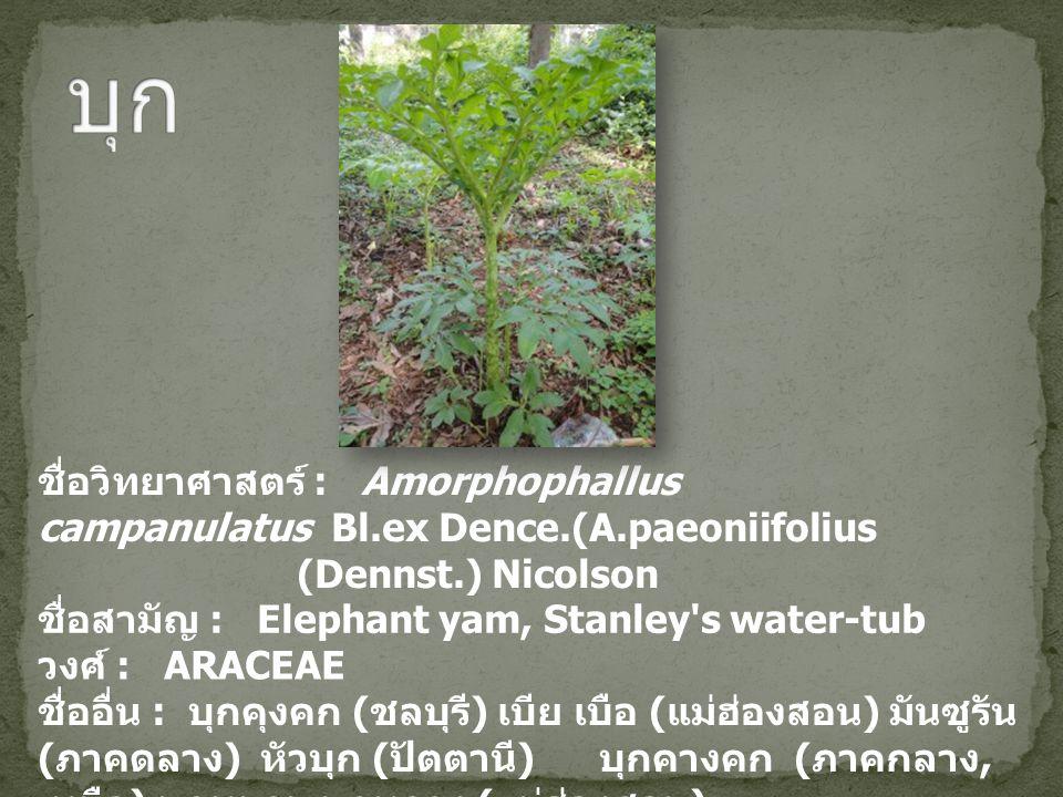 บุก ชื่อวิทยาศาสตร์ : Amorphophallus campanulatus Bl.ex Dence.(A.paeoniifolius. (Dennst.) Nicolson.