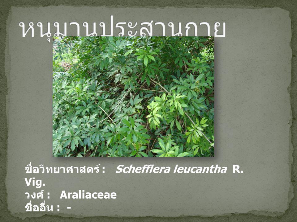 หนุมานประสานกาย ชื่อวิทยาศาสตร์ : Schefflera leucantha R. Vig.