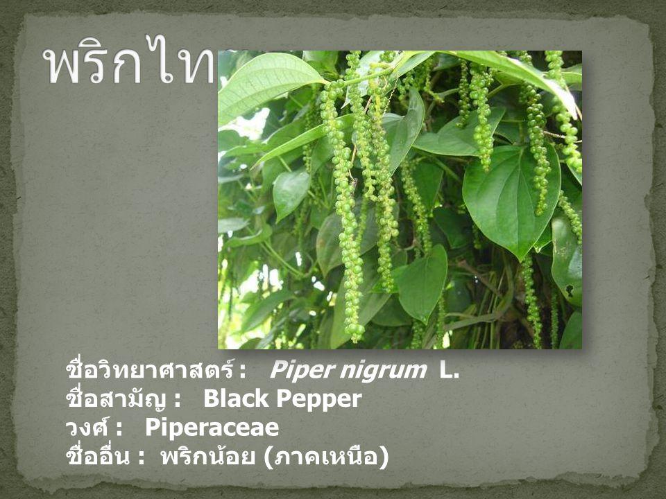 พริกไทย ชื่อวิทยาศาสตร์ : Piper nigrum L. ชื่อสามัญ : Black Pepper