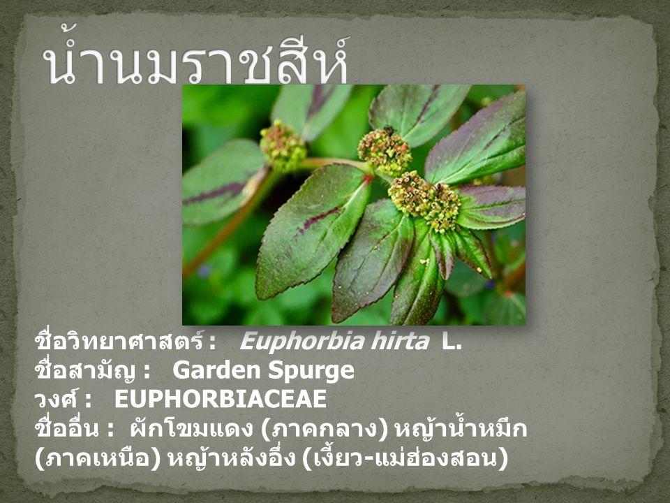 น้ำนมราชสีห์ ชื่อวิทยาศาสตร์ : Euphorbia hirta L.