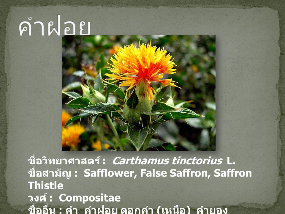 คำฝอย ชื่อวิทยาศาสตร์ : Carthamus tinctorius L.