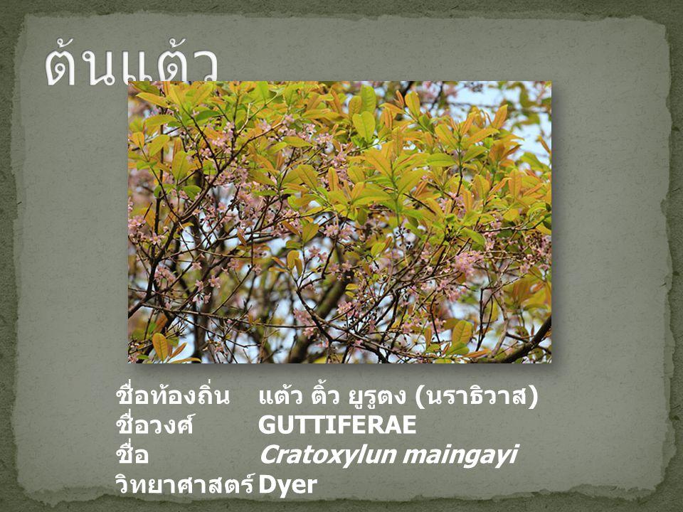 ต้นแต้ว ชื่อท้องถิ่น แต้ว ติ้ว ยูรูตง (นราธิวาส) ชื่อวงศ์ GUTTIFERAE