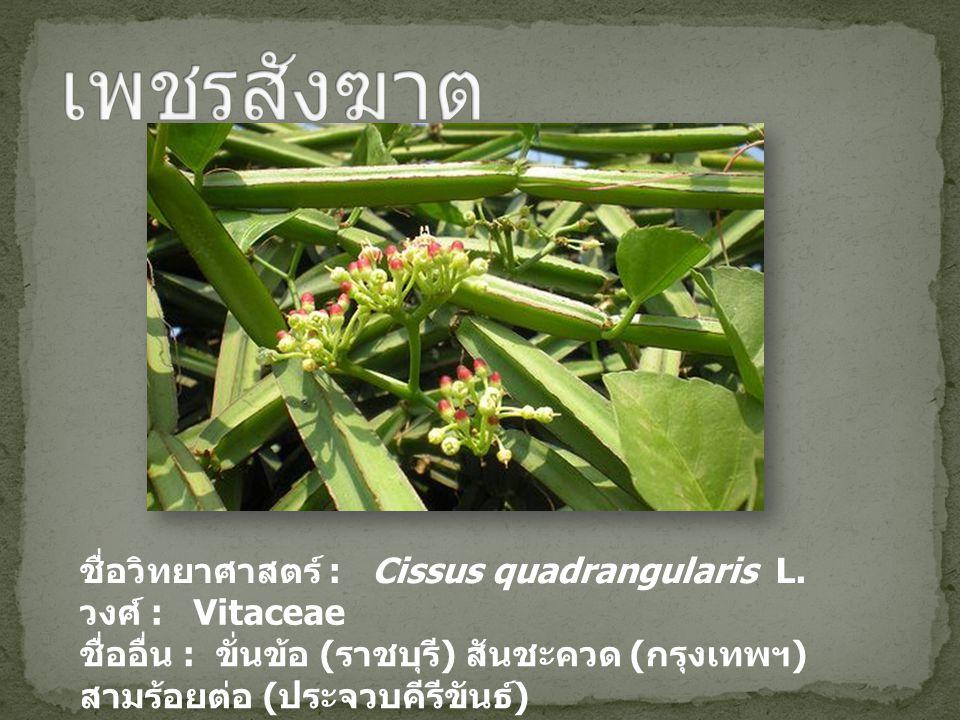 เพชรสังฆาต ชื่อวิทยาศาสตร์ : Cissus quadrangularis L. วงศ์ : Vitaceae