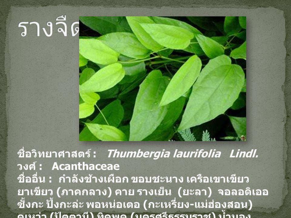 รางจืด ชื่อวิทยาศาสตร์ : Thumbergia laurifolia Lindl.