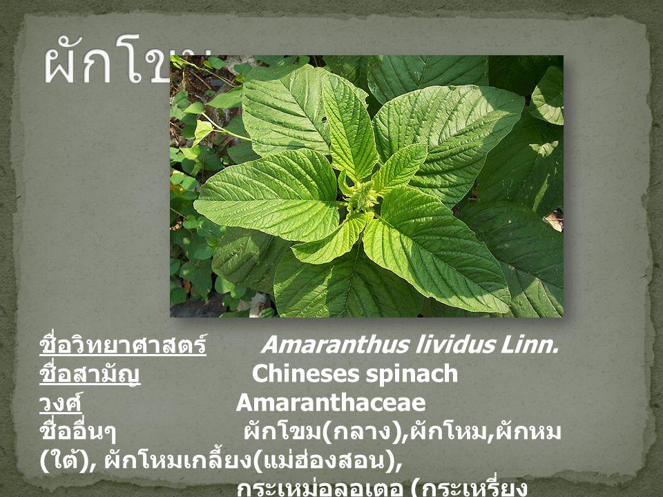 ผักโขม ชื่อวิทยาศาสตร์ Amaranthus lividus Linn.