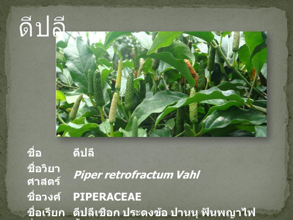 ดีปลี ชื่อ ดีปลี ชื่อวิยาศาสตร์ Piper retrofractum Vahl ชื่อวงศ์