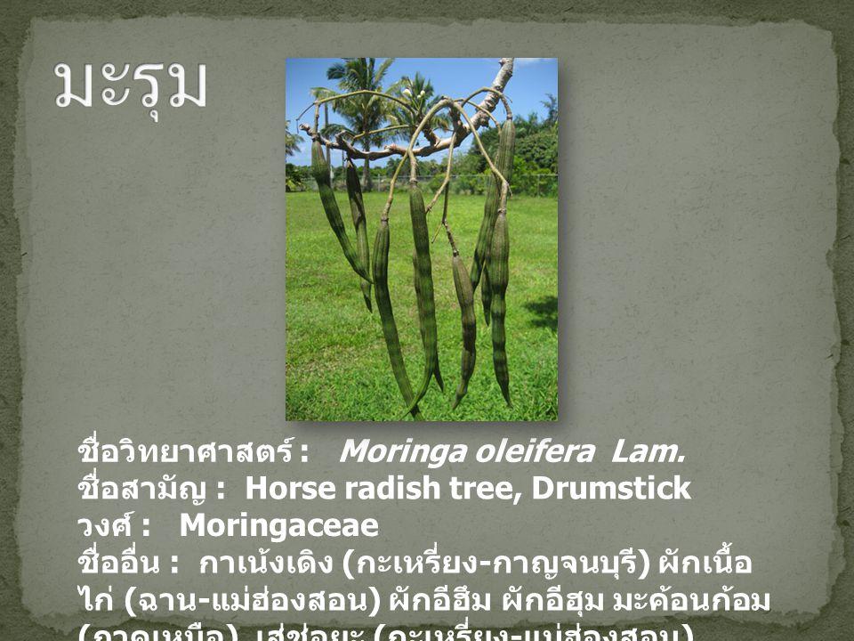 มะรุม ชื่อวิทยาศาสตร์ : Moringa oleifera Lam.
