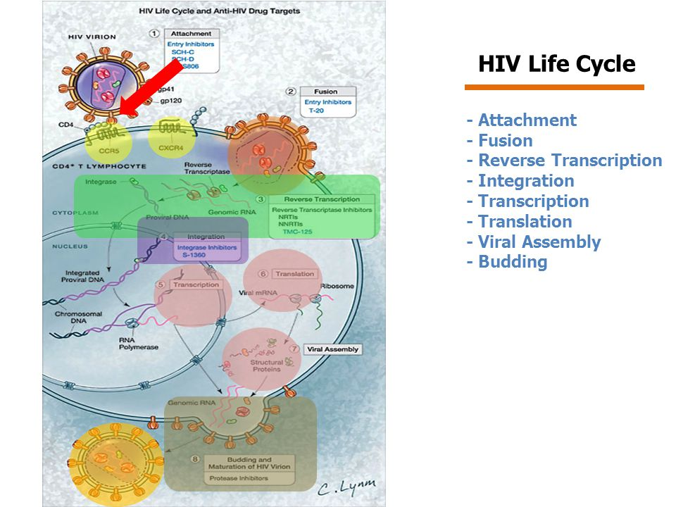 HIV Life Cycle - Attachment - Fusion - Reverse Transcription
