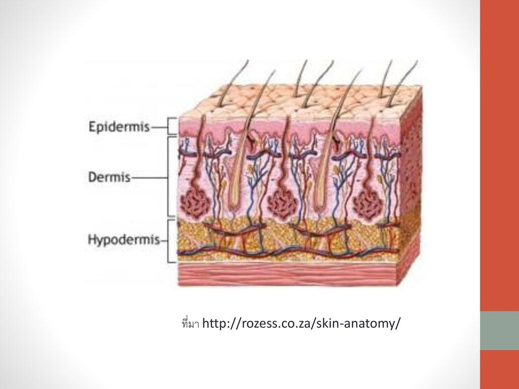 ที่มา http://rozess.co.za/skin-anatomy/