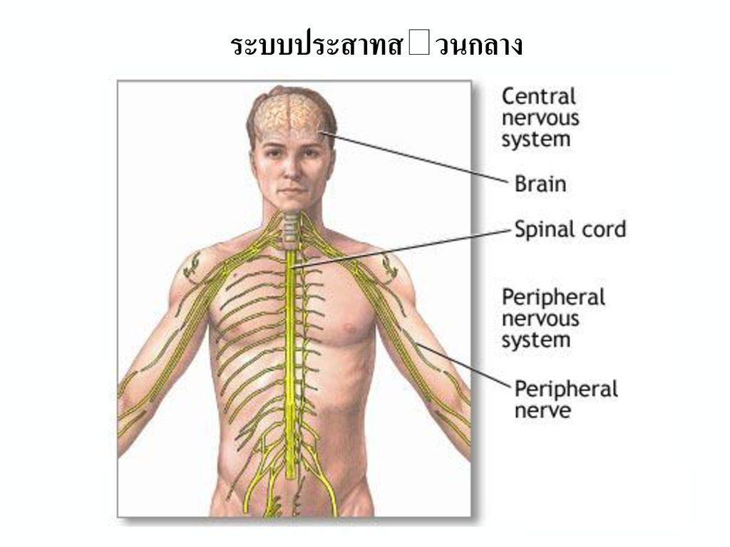 ระบบประสาทของมนุษย์ เส้นประสาทสมอง เส้นประสาทไขสันหลัง