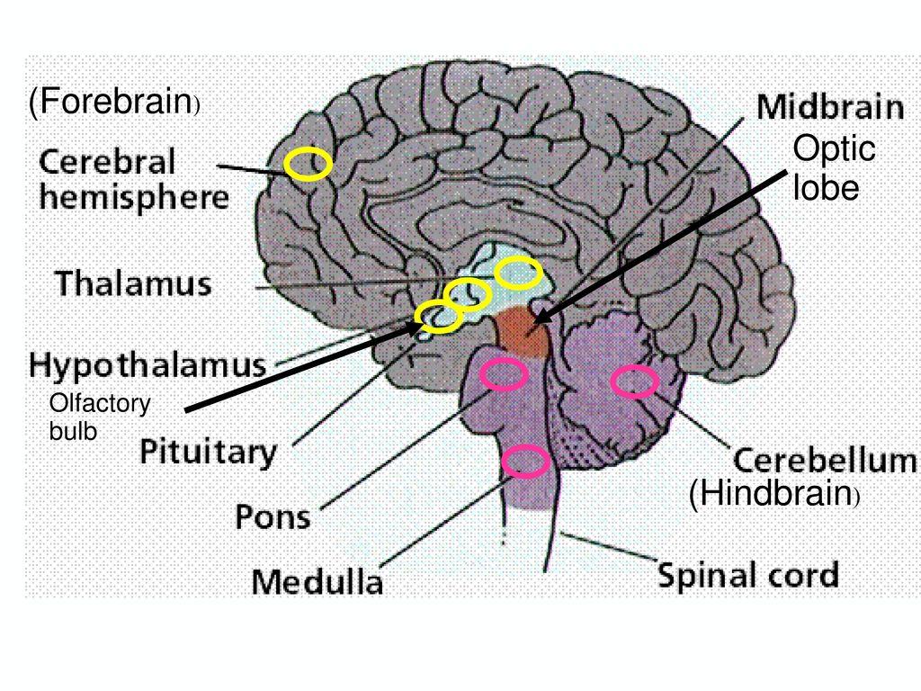 1.สมอง (Brain)