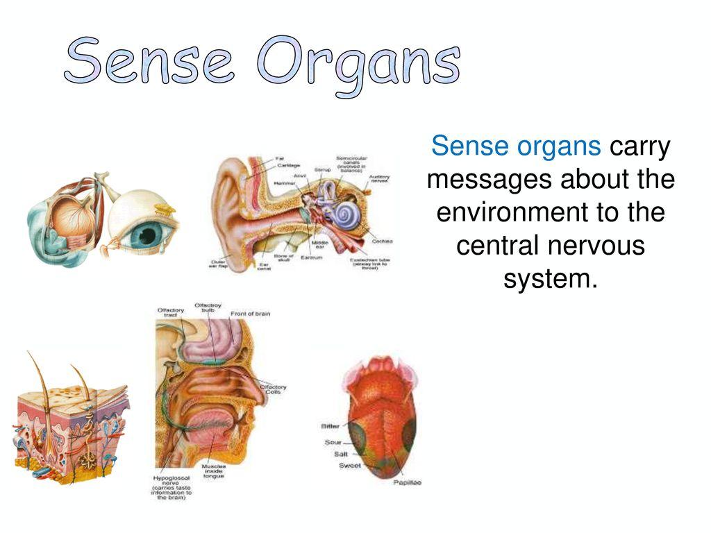 ก้านสมอง (Brain stem) ประกอบด้วย