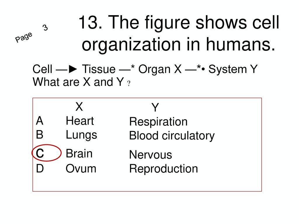 c Y หลอดเลือดที่นำเลือดจากปอดเข้าหัวใจ
