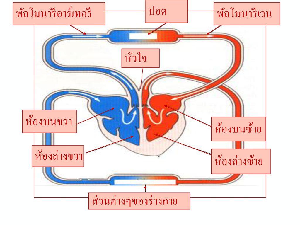 ระบบหมุนเวียนเลือด (circulatory system)
