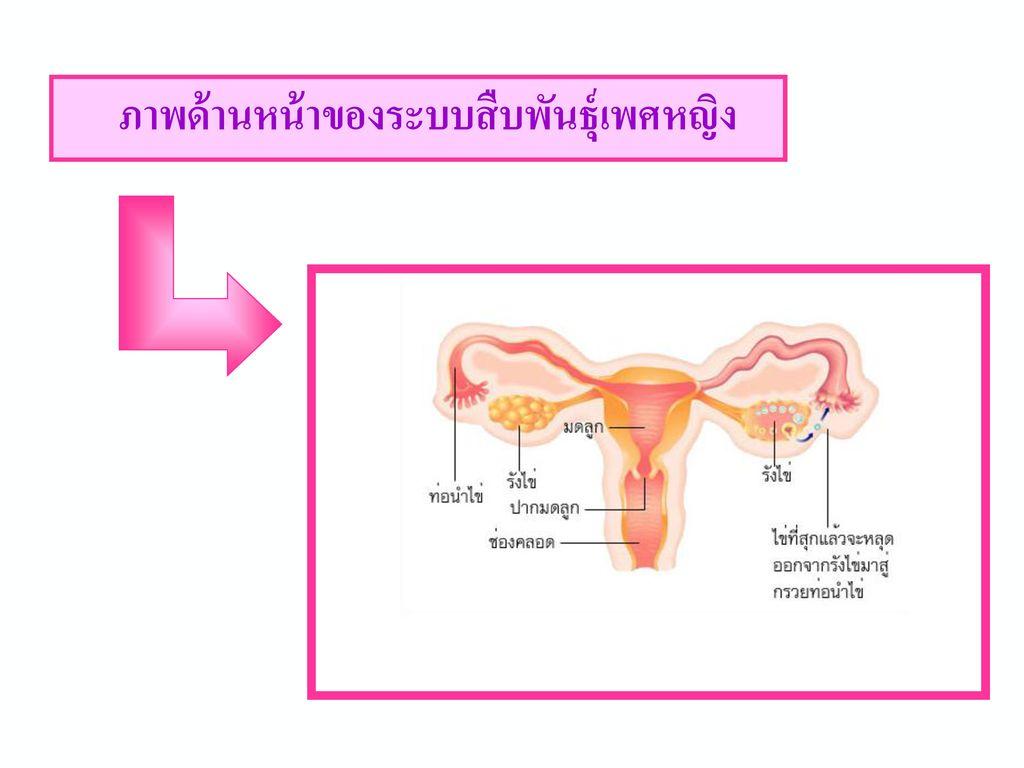 ความรู้เพิ่มเติม เพศชายมีการหลั่งอสุจิครั้งละ 3 – 4 cm3 (มีตัวอสุจิประมาณ 350 – 500 ล้านตัว )